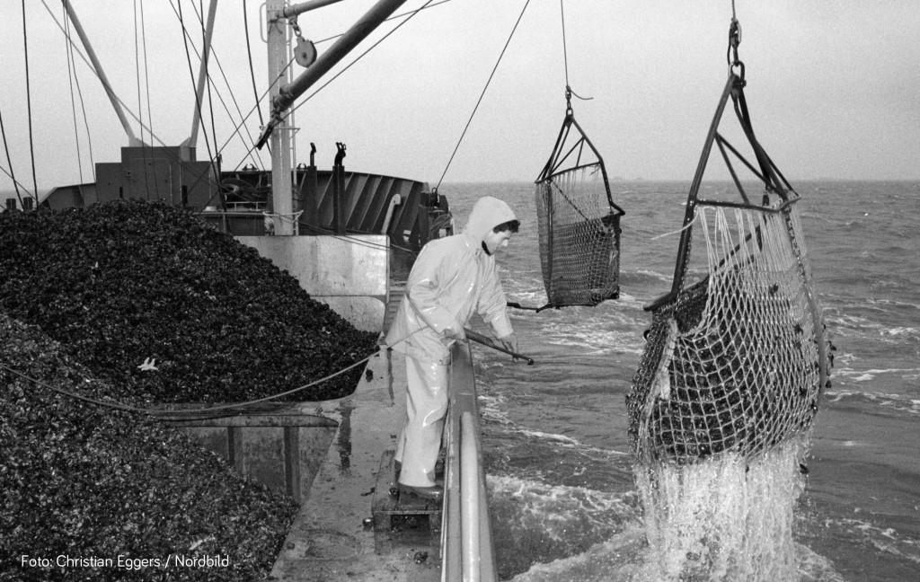 (nordbild), KIEL, 19.8.1999. Das Archivfoto, aufgenommen 27.1.1993, zeigt einen Fischer beim Miesmuschelfang auf der Nordsee. (nordbild, Chirstian Eggers)